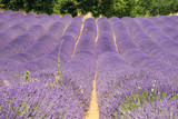 Scenic purple blooming lavender field in Provence region, France during summer time