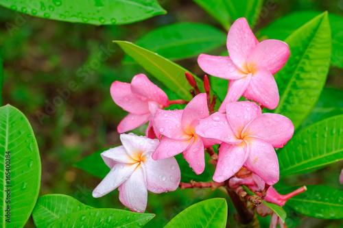 Pink Plumeria or frangipani flower
