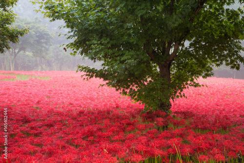 Naklejka 빨간 꽃무릇꽃이 핀 아침