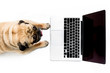 top view of pug dog with laptop with blank screen, isolated on white