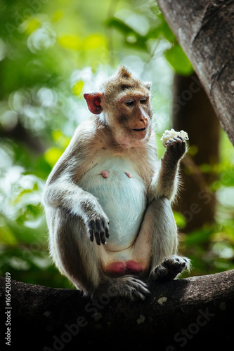Long tail macaque monkey