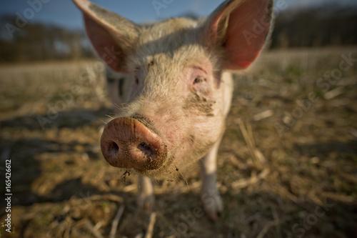 Schwein auf dem Feld