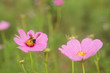 Close- up of Cosmos flower with out blur background - 165428659