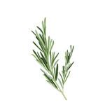Sprig of rosemary vector illustration. Rosemary herb - 165432056