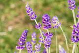 Nahaufnahme blühender Lavendel mit besonderem Lichteinfall