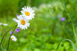 Two chamomile, summer flowers background - 165441608