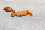 Two dachshund dogs sleep on a tarmac street in hot weather in the city of Pisa
