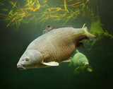 The Common Carp - Cyprinus carpio. Underwater photography from fish pond. In Central Europe ( Poland and Czech Republic ), fish is a traditional part of a Christmas Eve dinner.  - 165451083