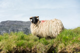 Landascapes of Ireland. Sheep grazing, Connemara in Galway county - 165460001