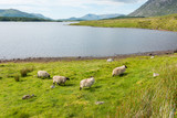 Landascapes of Ireland. Sheep grazing, Connemara in Galway county - 165460017