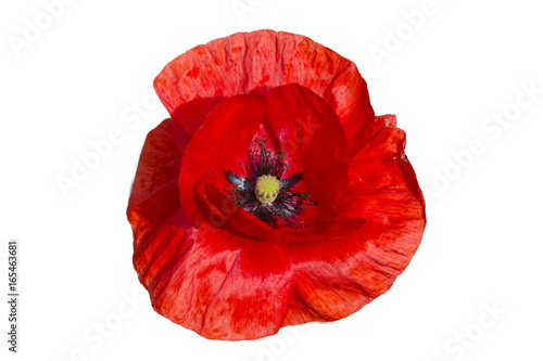 Deurstickers Klaprozen Red poppy isolated on white background