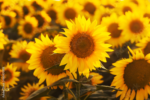 Field of blossoming sunflowers at sunset.