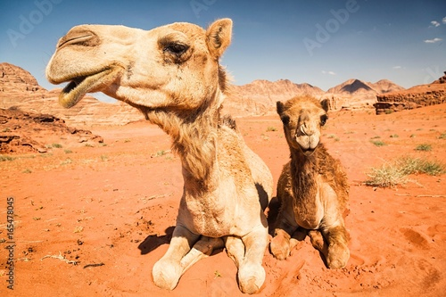 2 camels in the Jordan desert of wadi rum