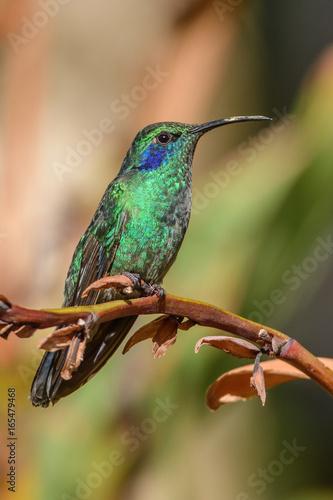 Staande foto Kameleon Hummingbird(Trochilidae)Flying gems