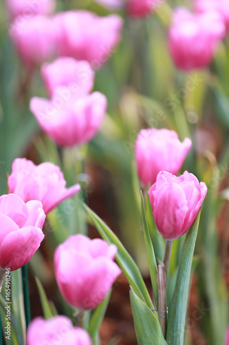 Bright Pink tulips blossoming.