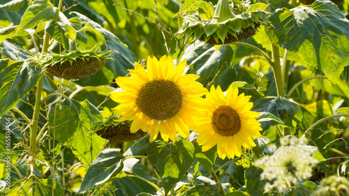 yellow sun flowers on fields composition photography