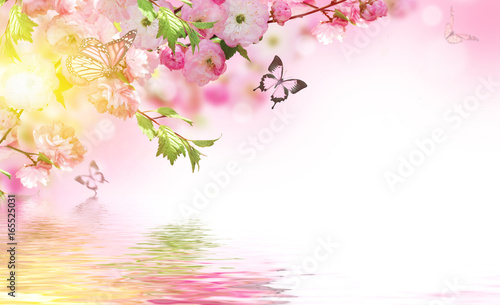 Flowers background with amazing spring sakura with butterflies. Flowers of cherries. - 165525031