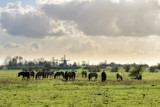Konik horses (Equus ferus caballus) in national park de Blauwe Kamer in Wageningen, the Netherlands