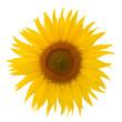Leinwanddruck Bild - Sonnenblume Blüte freigestellt auf weissem Hintergrund mit Blättern - sunflower, free