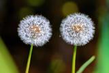 Ripe fruits of the common dandelion  (Taraxacum officinale)