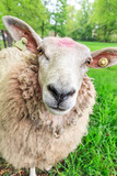 Close up portrait of a fluffy curious sheep (Ovis aries) in the Netherlands - 165550438