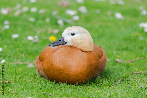 Ruddy Shelduck, orange duck on the grass, Tadorna ferruginea  Poster