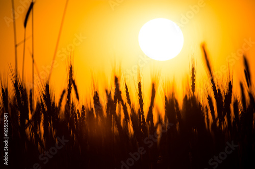 Foto op Plexiglas Bruin Ears of wheat on the background of a golden sunset