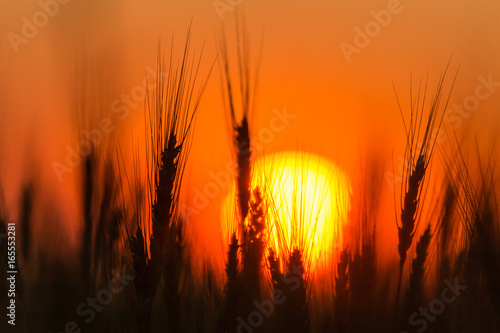 Foto op Plexiglas Oranje eclat Ears of wheat on the background of a golden sunset