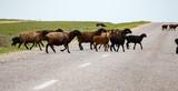 A herd of rams cross the road - 165553482