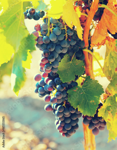Close-up of bunch of grapes at vineyards