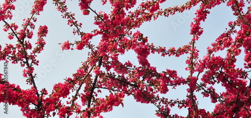 Foto op Plexiglas Bordeaux Spring Branch of a Blossoming Plum Tree with Pink Flowers and Blue Sky
