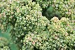 Quinoa plant growing background superfood sprouted quinoa seed food crop grows at farm with copy space