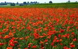 malerisches weites rotes Mohnblumenfeld mit grünen Blättern