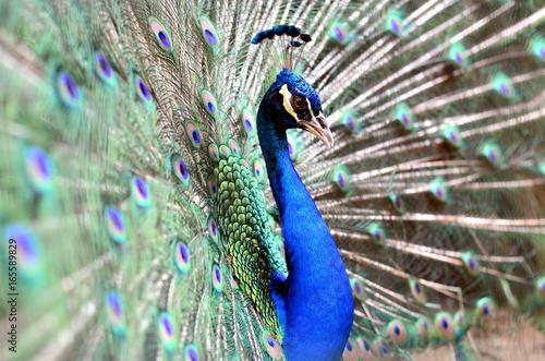 Foto op Aluminium Pauw Close up image of a peacock