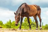 Brown wild horse on meadow idyllic field