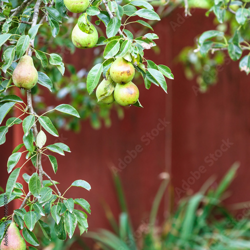 Fotobehang Bordeaux branch of pear tree on backyard in summer