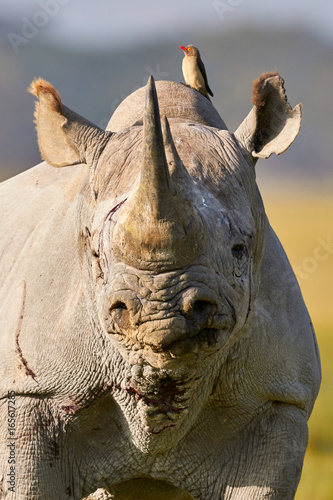 Beautiful black rhino portrait