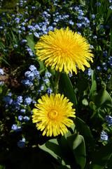 Sonnengelbe Löwenzahnblüten im Garten zwischen Vergissmeinicht