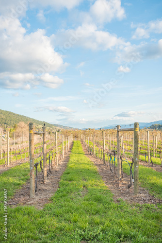 View of rows of grapevines and blue sky at vineyard in spring