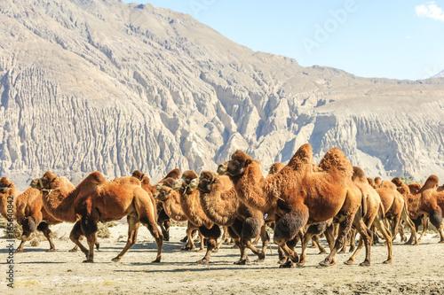 Camel on Nubra valley