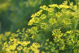 Yellow flower of dill. - 165642090