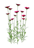 3D Rendering Cosmos Flowers on White