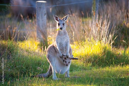 Fotobehang Kangoeroe Kangaroo and Joey 2