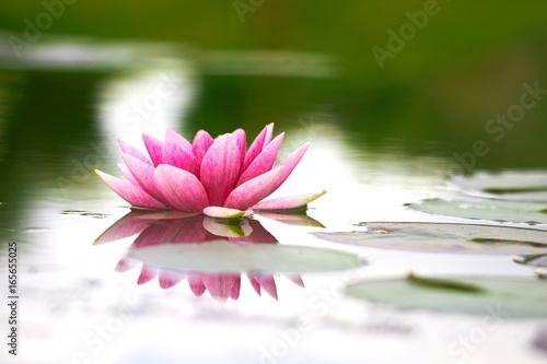 lotus flower in pond Poster
