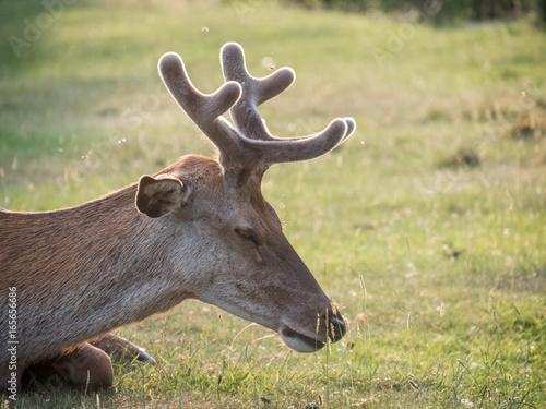 Resting young Red Deer (Cervus elaphus) stag growing velvet antlers in summer