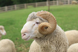 Sheep eating food - 165666046
