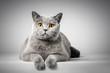 British Shorthair cat lying on white table