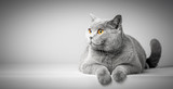 British Shorthair cat lying on white table. Copy-space - 165668859