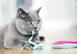 British Shorthair cat playing with a toy