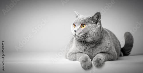 Brytyjski Shorthair kota lying on the beach na bielu stole. Kopiowanie miejsca